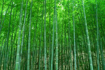 竹の画像 p1_25