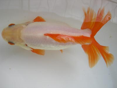 Koi news from japan for Local koi for sale