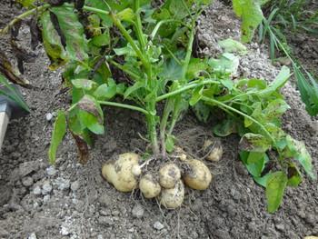 ジャガイモの収穫の始まりです。 / 美安簡便り - 浜松市中区相生町のスーパー・Bi・an・can(ビアンカン)