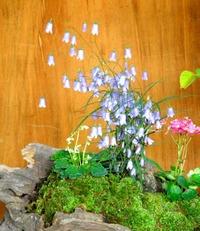 紫式部 草